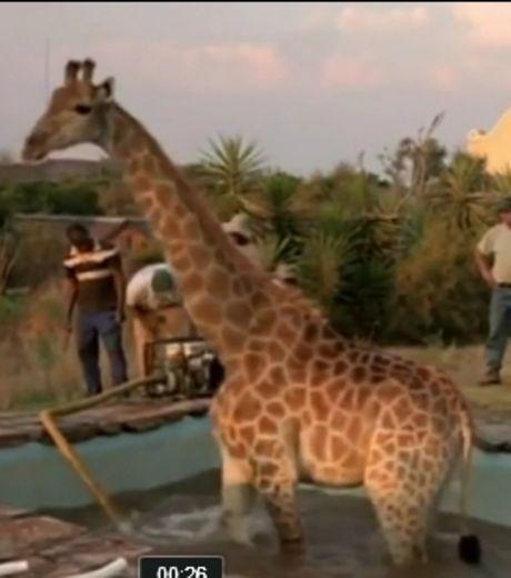 afrique-du-sud-une-girafe-se-retrouve-coincee-dans-une-piscine_65721_w460.jpg